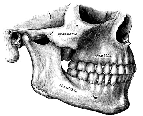 diagram of the bones of the jaw
